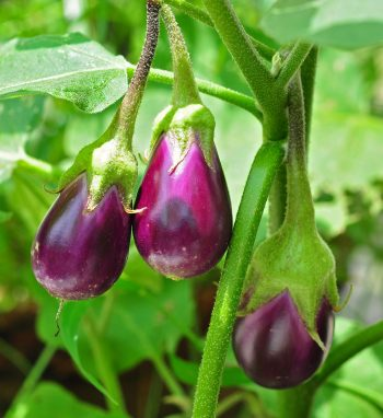 Plant Guide: Eggplant| Growing Eggplant, Growing Eggplant From Seed, Vegetable Gardening, Vegetable Gardening for Beginners, Vegetable Garden, Garden Ideas, Gardening