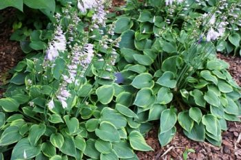 Plant Guide Hosta Bees And Roses