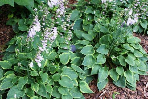 Plant Guide: Hosta| Garden, Garden Ideas, Plants, Gardening Ideas, Hostas Garden Ideas, Hostas Landscaping, Gardening