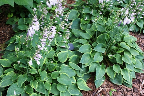 Plant Guide: Hosta  Growing Hosta, Hosta, Garden, Garden Ideas, Plants, Gardening Ideas, Hostas Garden Ideas, Hostas Landscaping, Gardening