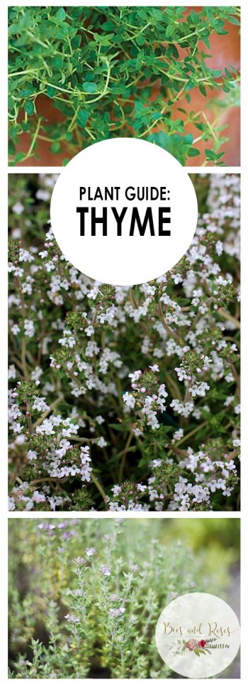 Plant Guide: Thyme - Bees and Roses  Growing Thyme, Thyme Gardening Ideas, Herb Garden, Herb Gardening, Herb Gardening Tips, Vegetable Gardening for Beginners, Herb Gardening for Beginners, Garden Ideas Herb, Garden Ideas, Gardening, Gardening for Beginners