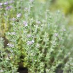 Plant Guide: Thyme - Bees and Roses| Gardening Ideas, Herb Garden, Herb Gardening, Herb Gardening Tips, Vegetable Gardening for Beginners, Herb Gardening for Beginners, Garden Ideas Herb