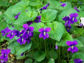 Growing Violet, Violet Flower, Flower Garden, Flower Gardening, Gardening for Beginners, Flower Gardening for Beginners, Gardening, Gardening Tips, Garden Ideas, Gardening Ideas
