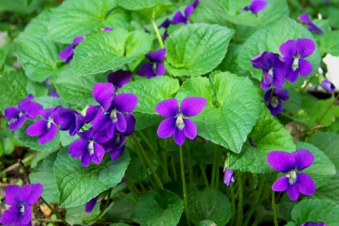 Growing Violet, Violet Flower, Flower Garden, Flower Gardening, Gardening for Beginners, Flower Gardening for Beginners, Gardening, Gardening Tips, Garden Ideas, Gardening Ideas