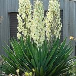 Growing Yucca, Yucca Plant, Growing Yucca From Seed, Growing Yucca Plants, Gardening, garden, Garden Ideas, gardening ideas