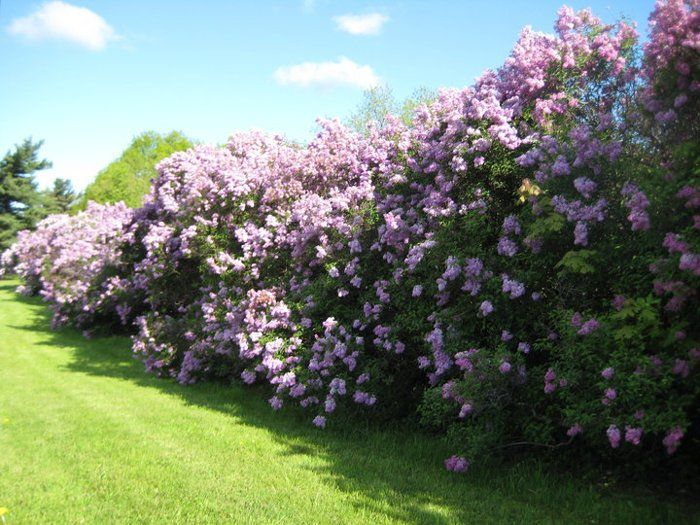 10 Of The Best Plants For Gardening Hedges Bees And Roses