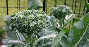 Growing Broccoli, Gardening, Broccoli, Garden, Vegetable Garden, Vegetable Gardening, Vegetable Gardening Tips and Tricks, Gardening, Garden Ideas
