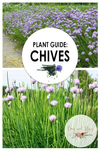 Plant Guide: Chives| Growing Chives, Garden ideas, Herb Garden, Herb Garden Ideas, Herb Gardening for Beginners, Gardening Ideas, Gardening, Gardening Tips and Tricks