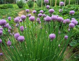 Plant Guide: Chives  Growing Chives, Garden ideas, Herb Garden, Herb Garden Ideas, Herb Gardening for Beginners, Gardening Ideas, Gardening, Gardening Tips and Tricks