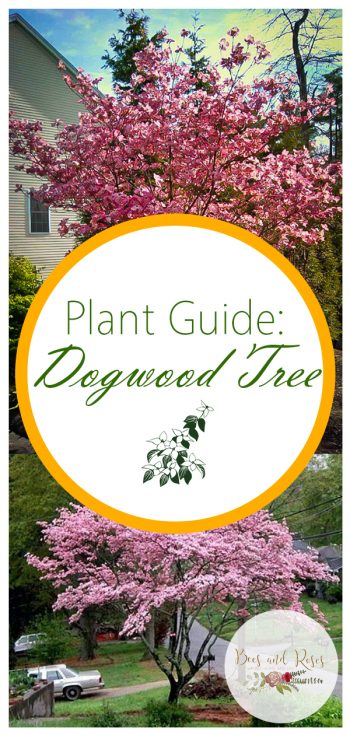 Plant Guide: Dogwood Tree - Bees and Roses | Growing Dogwood Tree, Dogwood Tree, Trees to PLant, Garden Ideas, Landscaping Ideas, Landscape Ideas, Tree Care Tips