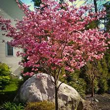Plant Guide: Dogwood Tree - Bees and Roses   Growing Dogwood Tree, Dogwood Tree, Trees to PLant, Garden Ideas, Landscaping Ideas, Landscape Ideas, Tree Care Tips