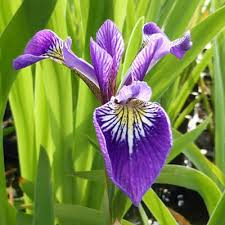 Plant Guide: Iris | Growing Iris, Iris, Flower Garden Ideas, Garden Ideas, Flower Gardening for Beginners, Flower Gardening, Flower Garden