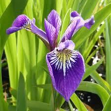 Plant Guide: Iris   Growing Iris, Iris, Flower Garden Ideas, Garden Ideas, Flower Gardening for Beginners, Flower Gardening, Flower Garden