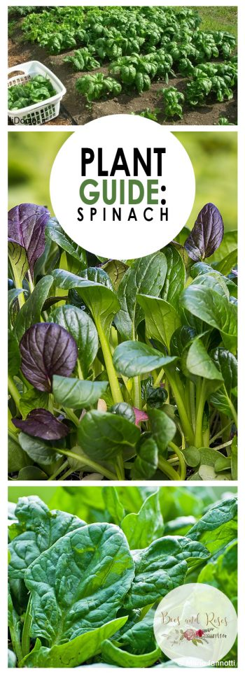 Plant Guide: Spinach - Bees and Roses | Growing spinach, vegetable gardening, Vegetable Gardening for Beginners, Gardening, Gardening Tips, Gardening Ideas, Garden Ideas