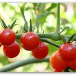 Plant Guide: Tomato| Growing Tomato, Tomato Gardening, Vegetable Gardening, Vegetable Gardening for Beginners, Garden Ideas, Gardening Ideas, Gardening, Gardening Ideas, Garden Ideas, Gardening Tips, Gardening Tricks