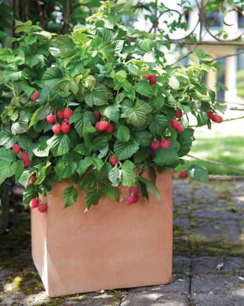 The Best Berries for Container Gardening| Container Gardening, Container Gardening for Beginners, Container Garden Ideas, Container Gardening Vegetables, Gardening, Garden Ideas, Gardening TIps, Gardening Tricks