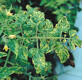 How to Cure Your Tomato Plant Diseases| Vegetable Gardening, Vegetable Gardening for Beginners, Gardening for Beginners, Garden Ideas, Tomato Plant Diseases