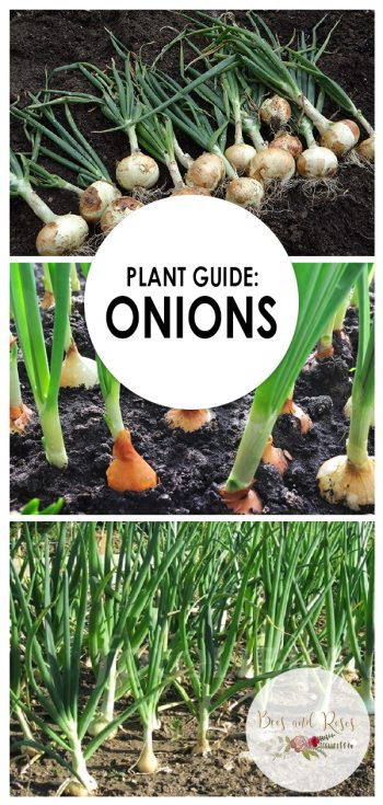 Growing Onions | Onions | Plant Guide: Onions | Plant Guide | Tips and Tricks for Growing Onions | Tips for Onions | Onions Hacks | Growing Onions Tricks