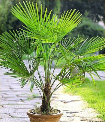 Growing Palm Tree, Palm Tree, Trees to Grow, Growing Palm Trees TIps, Growing Palm Trees In Pots, Gardening, Gardening Tips, Gardening Tricks