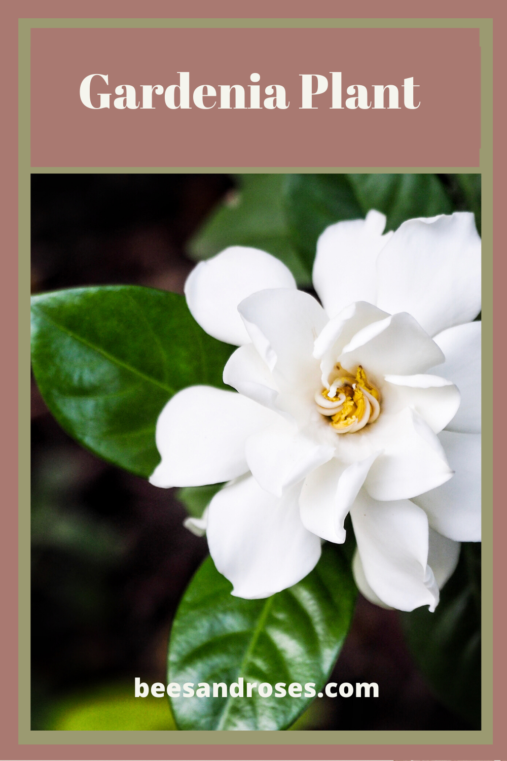 If you like fragrant flowers, the gardenia plant will make you happy. Its beautiful blooms are so heavenly smelling. The plant can be grown both indoors and outdoors. Learn how to take care of it by reading this post. #beesandrosesblog #gardenia #gardeniaplant
