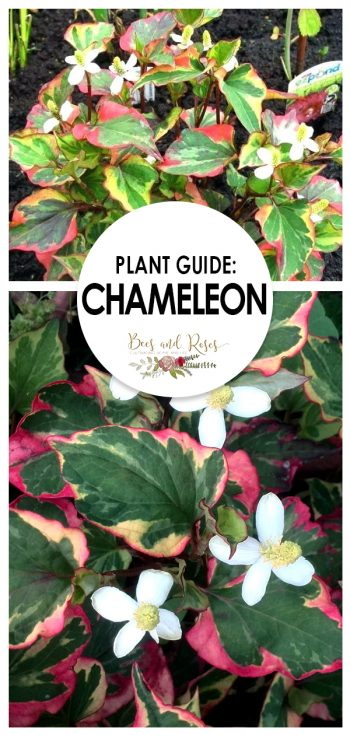 Plant Guide: Chameleon Plant - Bees and Roses | Chameleon Plant | Plant Guide | Tips and Tricks for Chameleon Plant | How to Care For Chameleon Plant