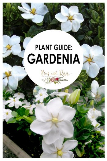 Plant Guide: Gardenia | Gardenia | Tips and Tricks for Gardenia | How to Care For Gardenia | Garden | Plants | Plant Guide