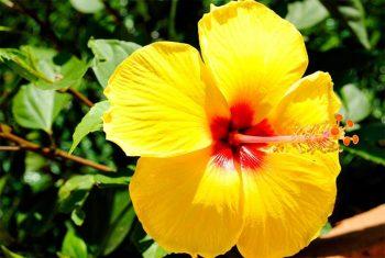 exotic plants-hibiscus