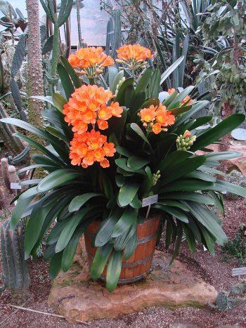 exotic plants-clivia
