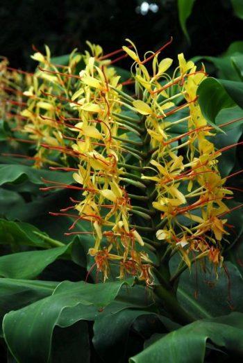 exotic plants-ginger