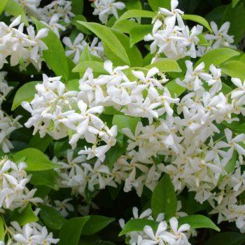 exotic plants-jasmine