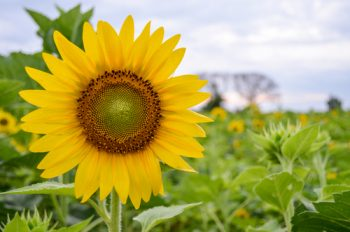 Sunflower Garden … Spread a little sunshine.   Sunflower Garden   Sunflowers   Sunshine   Gardening   Flower Garden   Flower