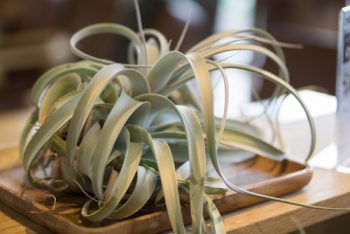 Air Plants are the Answer: Easy Houseplants | Air Plants | Garden | Indoor Garden | Houseplants | Easy Houseplants | Houseplants Tips and Tricks