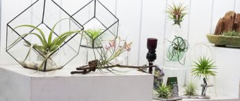Air Plants are the Answer: Easy Houseplants   Air Plants   Garden   Indoor Garden   Houseplants   Easy Houseplants   Houseplants Tips and Tricks