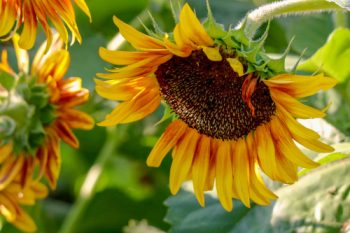 Sunflower Garden … Spread a little sunshine. | Sunflower Garden | Sunflowers | Sunshine | Gardening | Flower Garden | Flower