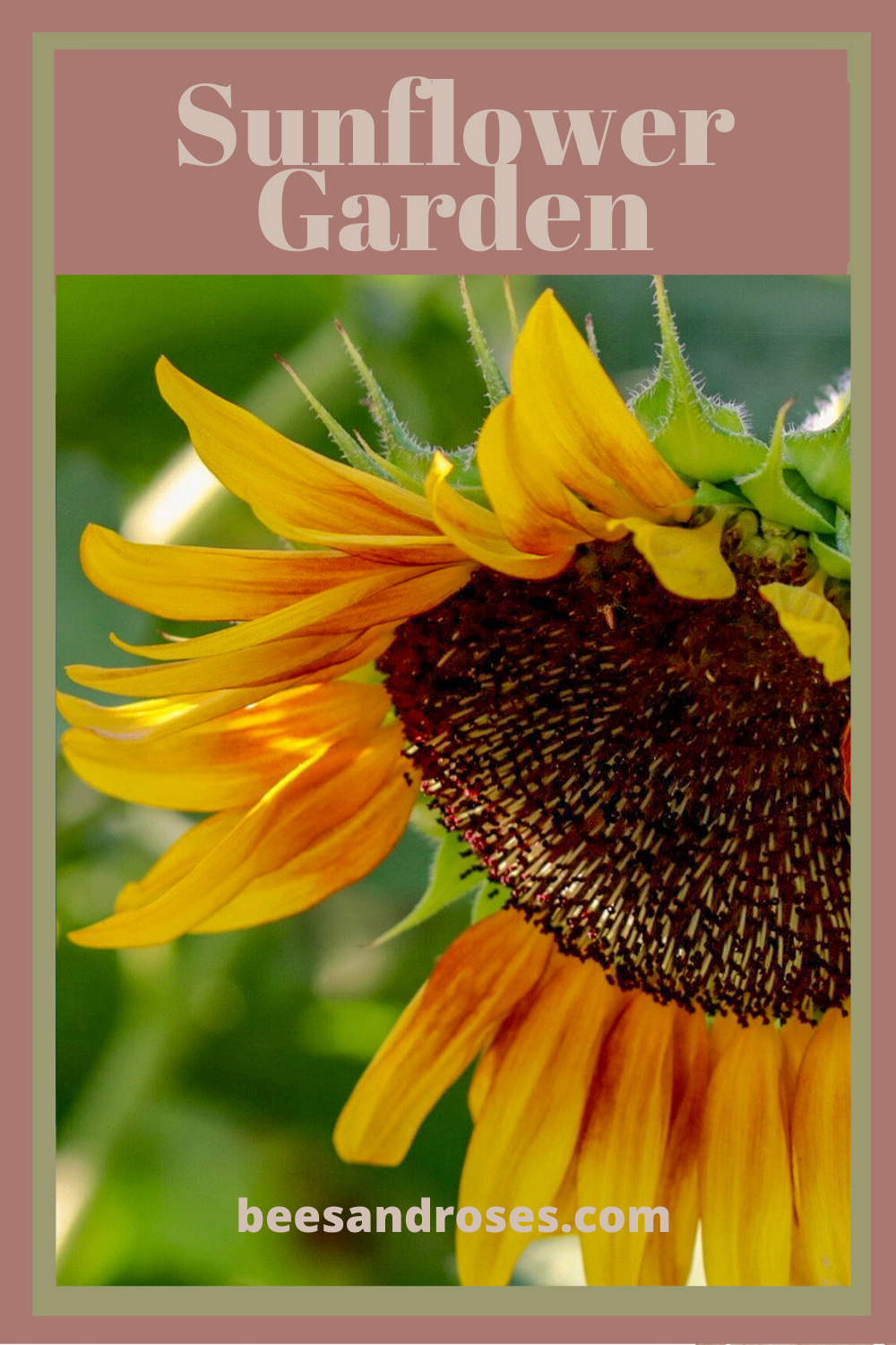 Sunflower Gardens make me smile. The flowers just look like happy faces. If you've ever wondered how to grow a sunflower garden, read this post for tips and tricks and ideas that will make your backyard super cute and one that looks happy. #beesandrosesblog #sunflowers #gardeningtips #howtogrowasunflowergarden