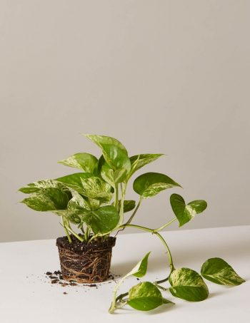 Low-Light Loving Indoor Plants - Bees and Roses   Low-Light Plants   Low-Light   How to Care for Low-Light Loving Plants   Garden   Plants