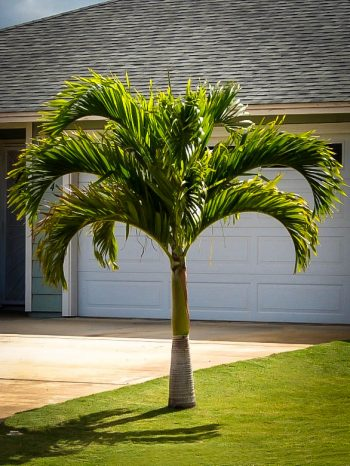 indoor palm trees, indoor plants, palm tree indoor plants, indoor palm tree plants