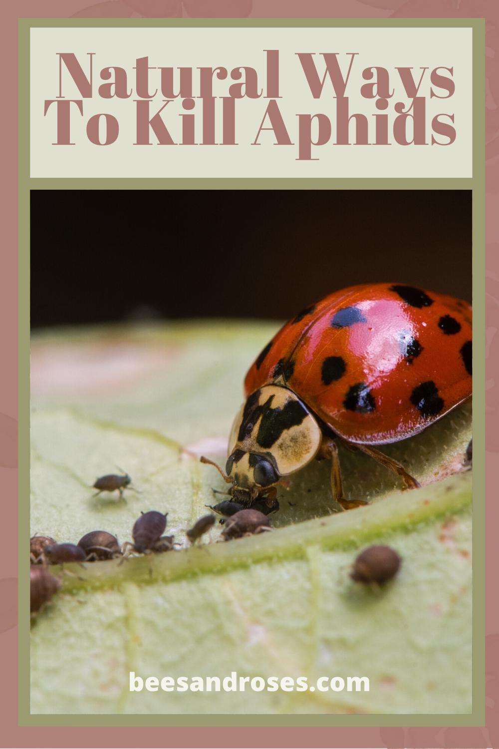 I'm proud that I keep my gardens organic. Aphids are a pain in the butt to gardeners and a constant job to get rid of them. Read this post for some organic, natural ways to kill aphids. #allnaturalpestcontrol #killaphids #bestwaytokillaphids