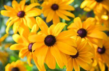 Black Eyed Susan | Black Eyed Susan: Plant Guide | Plant Guide | Fall Flowers | Black Eyed Susan Tips and Tricks | How to Care for Black Eyed Susan Plants