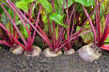 Vegetables to start from seed-beets