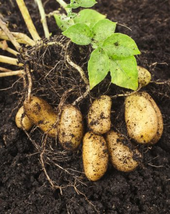 Potato Planter | Potato Planter Plan | How to Grow Potatoes | Potatoes Tips and Tricks | Garden | Gardening | Vegetable Garden