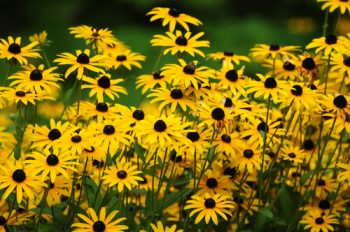 Black Eyed Susan | Black Eyed Susan: Plant Guide | Plant Guide | Fall Flowers | Black Eyed Susan Tips and Tricks | How to Care for Black Eyed Susan Plants