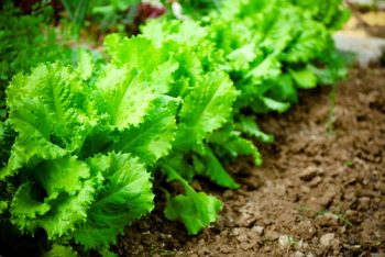 Vegetables to start from seed-lettuce