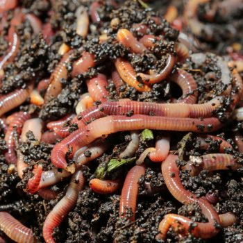 Composting Worms | Composting Worms for Your Garden | DIY Garden | Composting Worms Tips and Tricks | Garden
