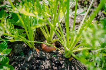 vegetables to start from seed-carrots
