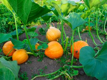 Vegetables to start from seed-pumpkin