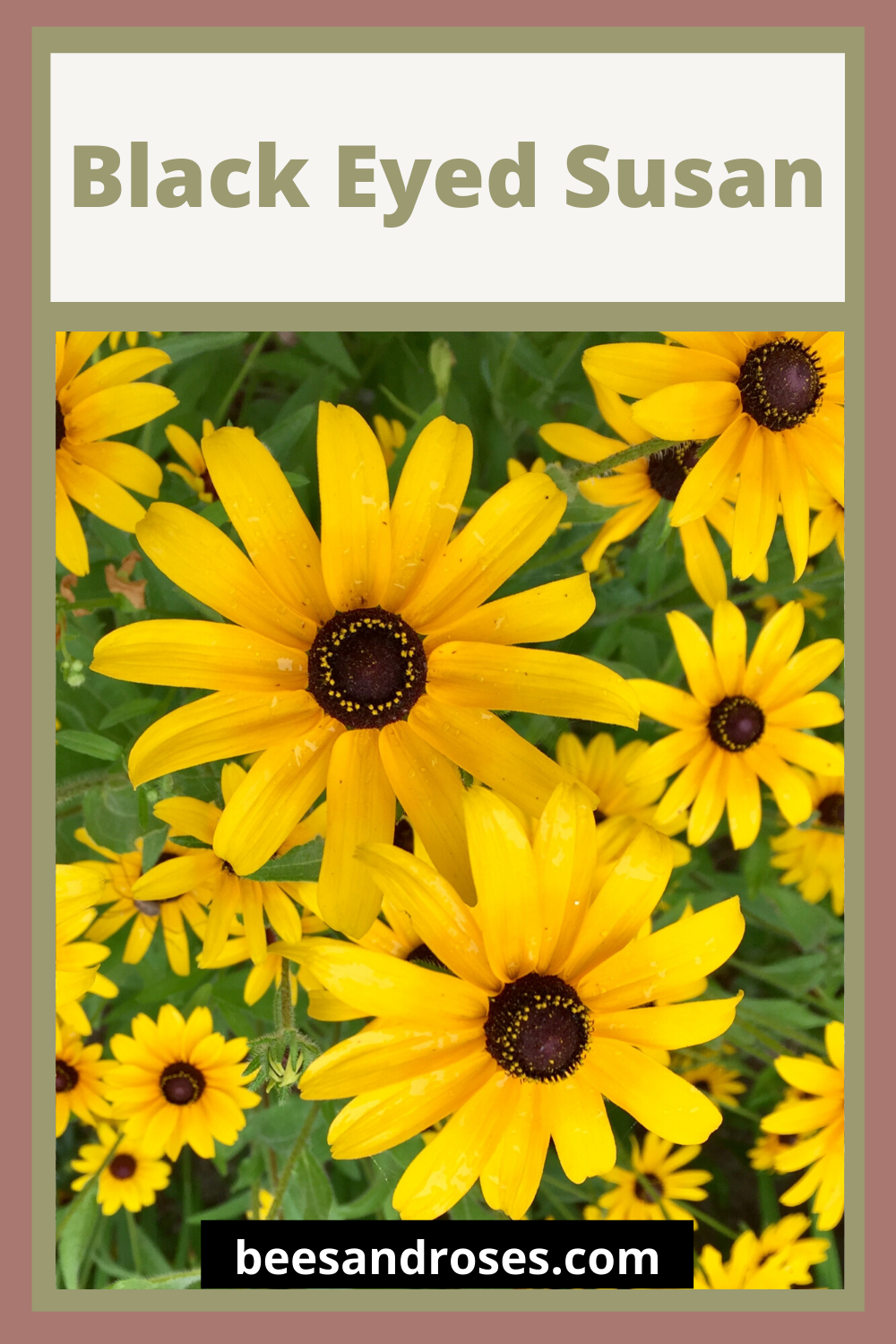 The black eyed susan has long been a perennial favorite. It just looks happy and makes its debut as fall is approaching. It's like one last hoorah before the colder temperatures set in. Learn more about these happy yellow flowers by reading this post. #blackeyedsusan #plantguide #plantcare #beesandrosesblog