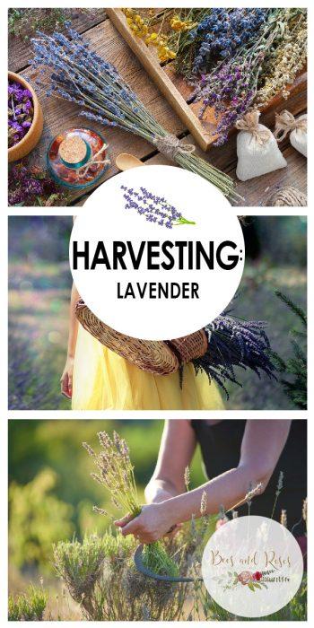 Harvesting Lavender | Learn How to Harvest Lavender | Harvest Lavender | Grow Lavender | Lavender