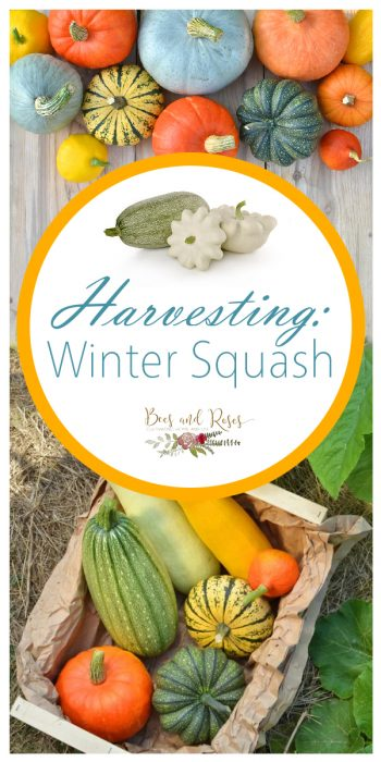 Harvesting Winter Squash | Tips and Tricks for Harvesting Winter Squash | Winter Garden | Fall Garden | Harvesting Winter Garden | Tips and Tricks for Harvesting Winter Squash | Tips for Harvesting Wiinter Squash | Harvesting Squash | Winter Squash