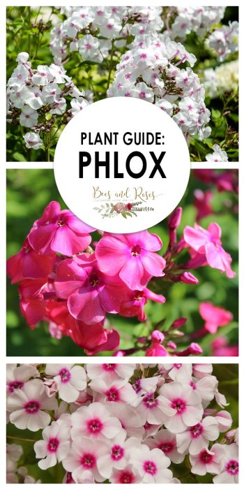 Phlox | Phlox Gardening Tips | Growing Phlox | Tips for Growing Phlox | Phlox in the Garden | Phlox Growing Hacks | Phlox Growing Tips and Tricks
